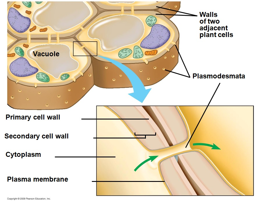 Cell organelles the cell cell walls are only found in plant cells they are very rigid and provide the cell support and protection cell walls are made up of cellulose ccuart Images